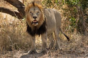 Lion sighting in South Africa