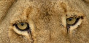 Eyes of a Lioness in South Africa